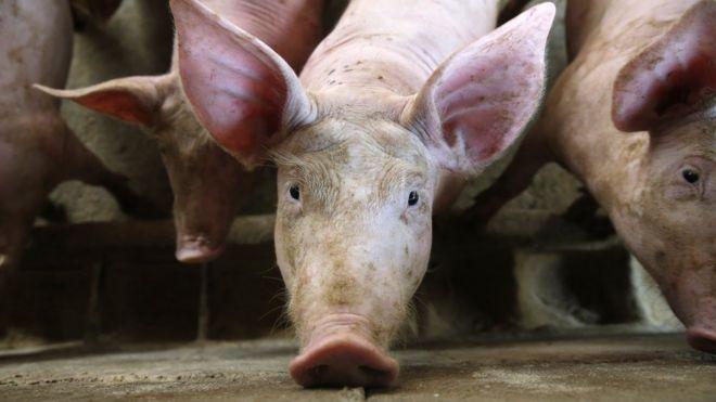 Kết quả hình ảnh cho tả lợn châu phi