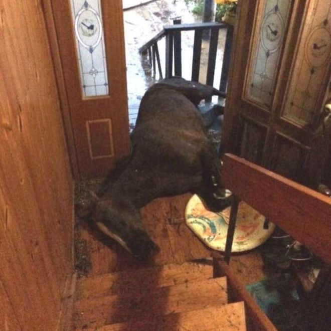 The exhausted horse lying in the family's doorway