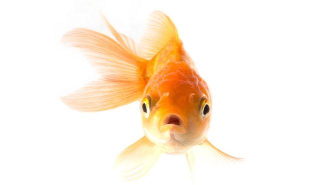 Funcion del higado en los peces