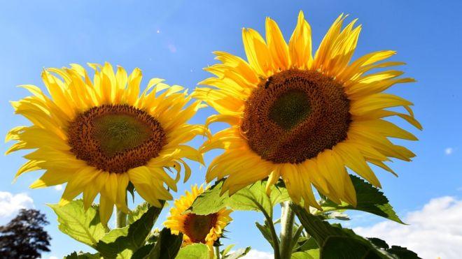 Por Qué Los Girasoles Siguen Al Sol Y De Un Momento A Otro Dejan De
