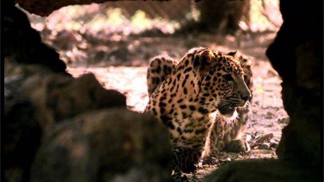 Leopard burned alive in India village - BBC News