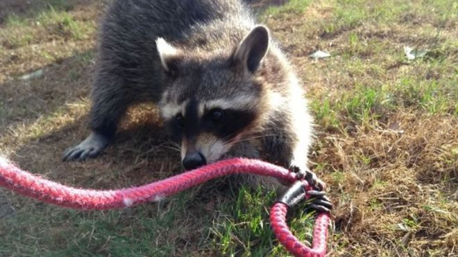 Rspca Rescues Racoon Found Playing In A Liverpool Garden Bbc News