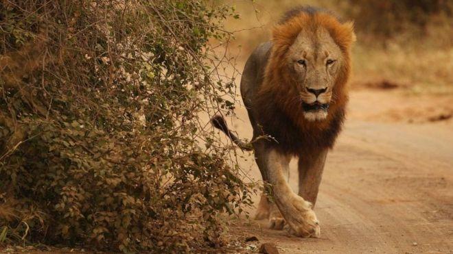 Il y a des craintes que les lions échappés ne s'en prennent au bétail dans les fermes près de Matsulu
