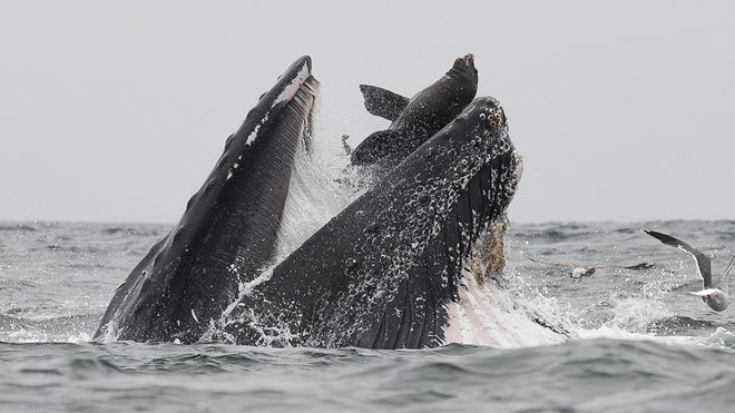 Whale 'swallows' sea lion: 'It was a once-in-a-lifetime