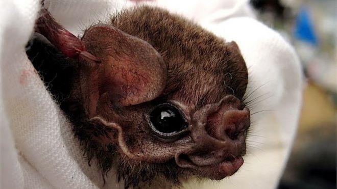 Morcego-vampiro-de-pernas-peludas
