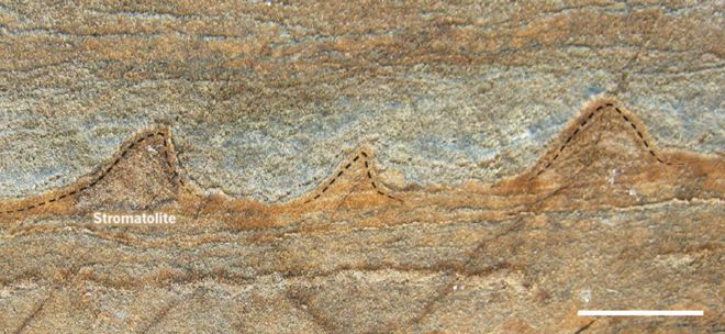 Stromatolite fossils