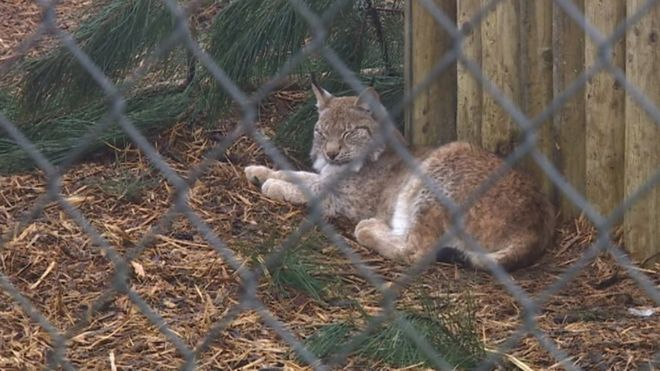 Рысь в зоопарке Борт