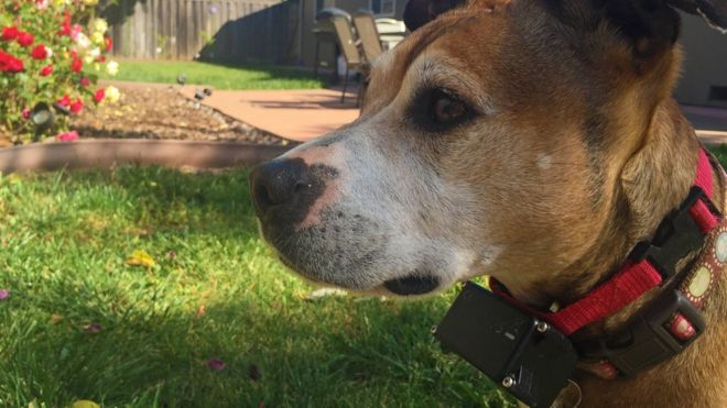 Electric shock collars for pets to be banned - BBC News