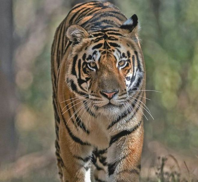 what does it take to relocate a 195kg tiger in india bbc news