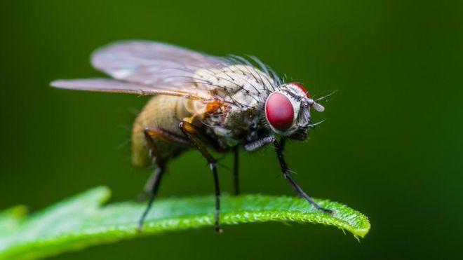 ذباب الفاكهة