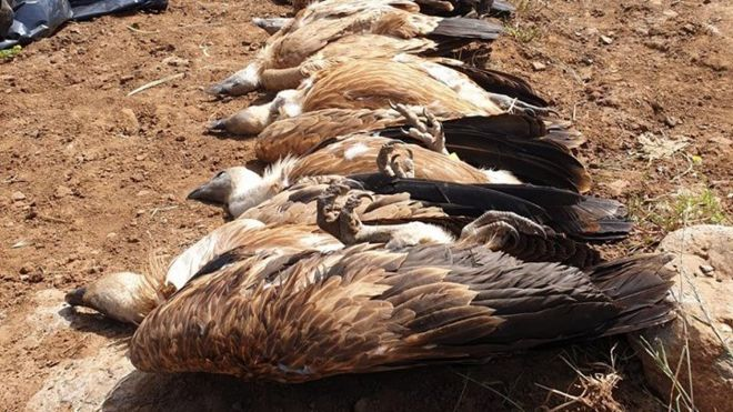 Poisoned vultures on the Israeli-occupied Golan Heights (10/05/19)
