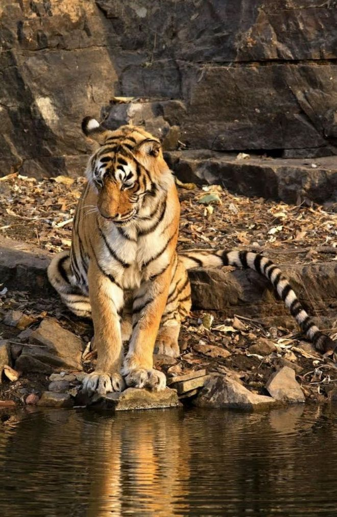 india s most famous tiger machli dies in ranthambore aged 19 bbc