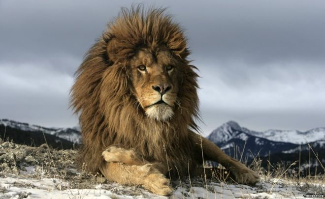 the lion a victim of its own power bbc news