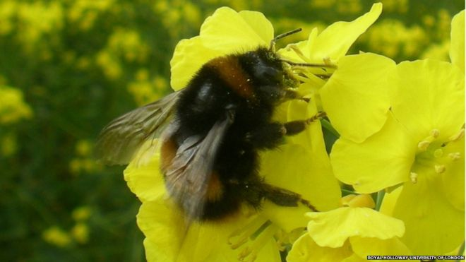 Bumblebees Pesticide reduces queen egg development BBC News