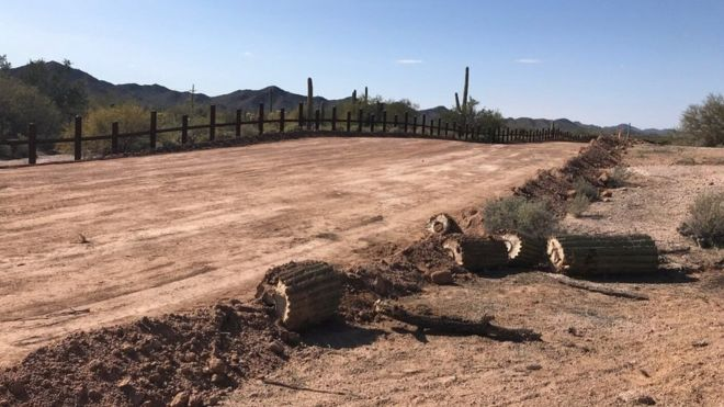 Cacti that are over 200 years old and have sacred significance have been chopped down