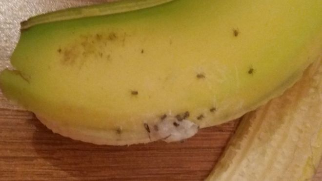deadly spiders in banana force family from county durham home bbc