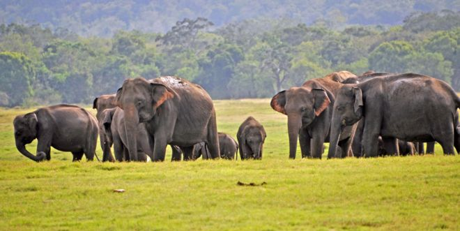 Sri Lanka elephants: 'Record number' of deaths in 2019