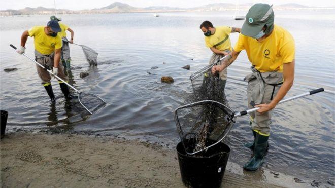 Trabajadores municipales recogiendo peces muertos en la playa del Mar Menor el pasado 21 de agosto.