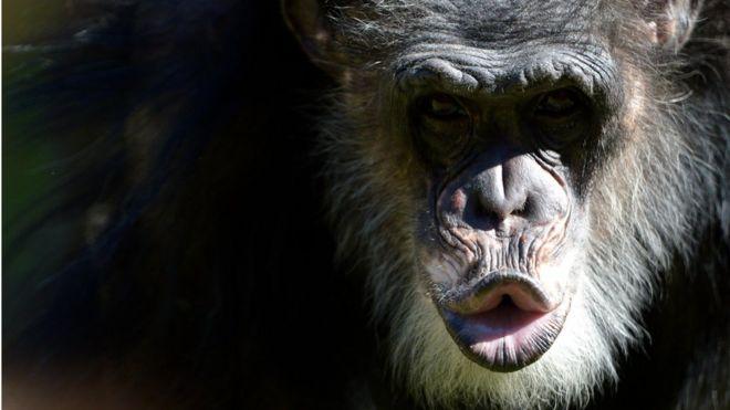 Chimpanzé fazendo gesto com a boca