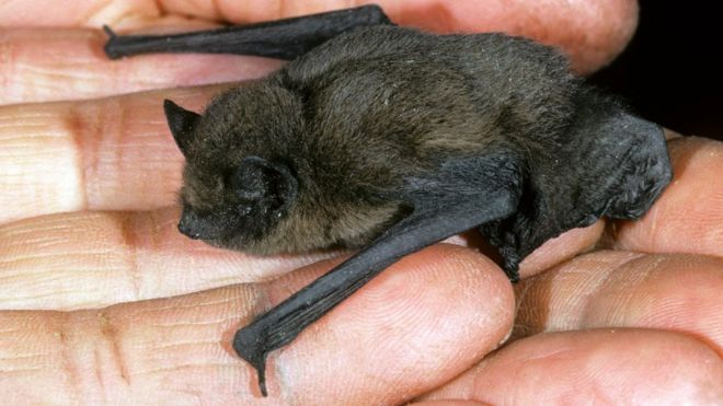 bat species spotted for the first time on isle of man bbc news