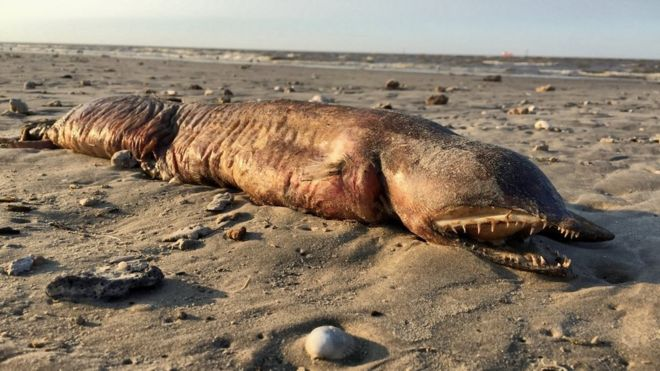 Image shows the fanged creature washed up on the beach