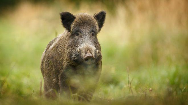 denmark backs fence on german border to keep out wild boar bbc news