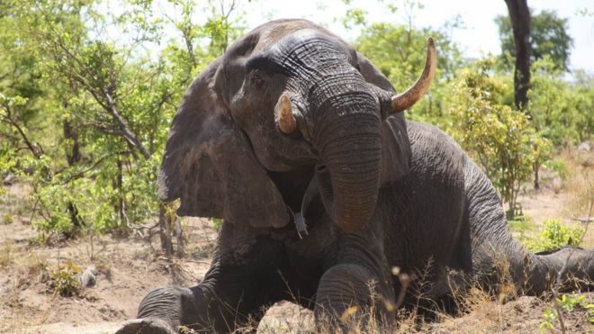 Botswana cancels hunters' licences for killing elephant