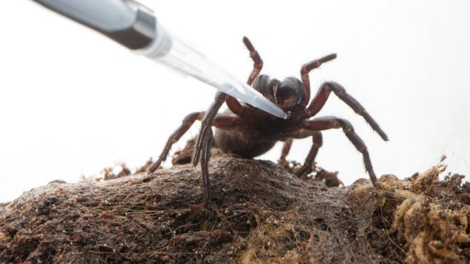 Funnel web spider being milked