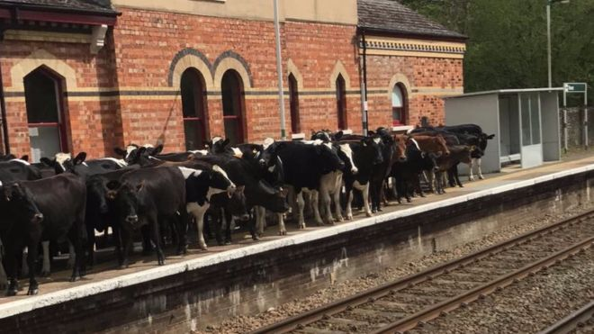 Cows on the platform at Hever station