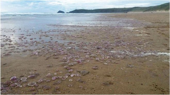Thousands of jellyfish washed up on Perranporth beach