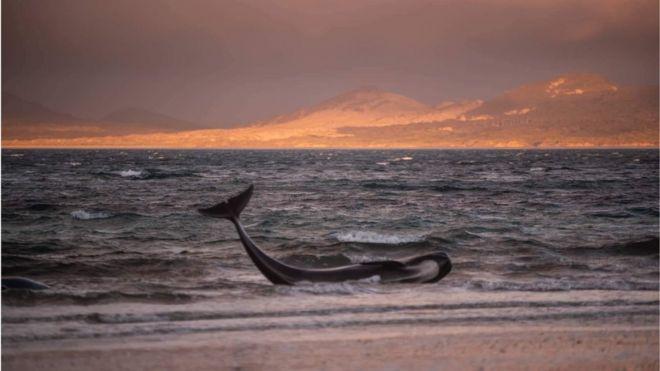 Baleia-piloto encalhada nas águas rasas de uma praia remota na ilha Stewart, na Nova Zelândia, durante o pôr do Sol