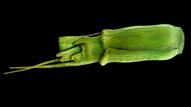 Semilla de Aegilops tauschii