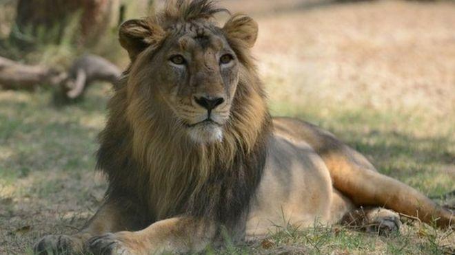 Gujarat lion deaths: What killed 11 big cats? - BBC News