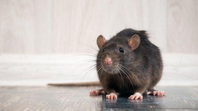 چرا ویروس کرونا باعث هجوم و فعالیت بیشتر موشها شدهاست؟