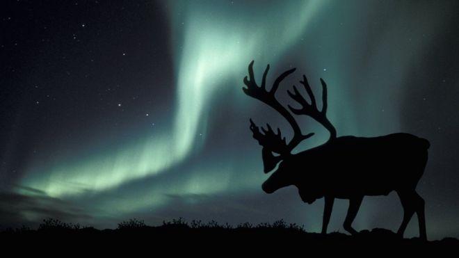 最新研究发现,最近二十年,北极地区野生驯鹿数量已经减少了一半多。