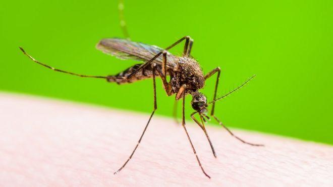 Mosquito culex