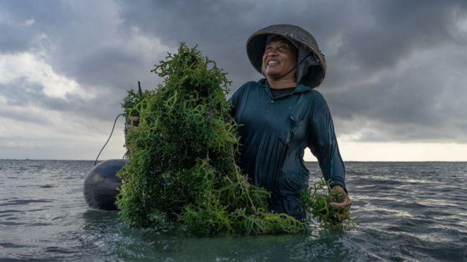 印尼海藻養殖工人