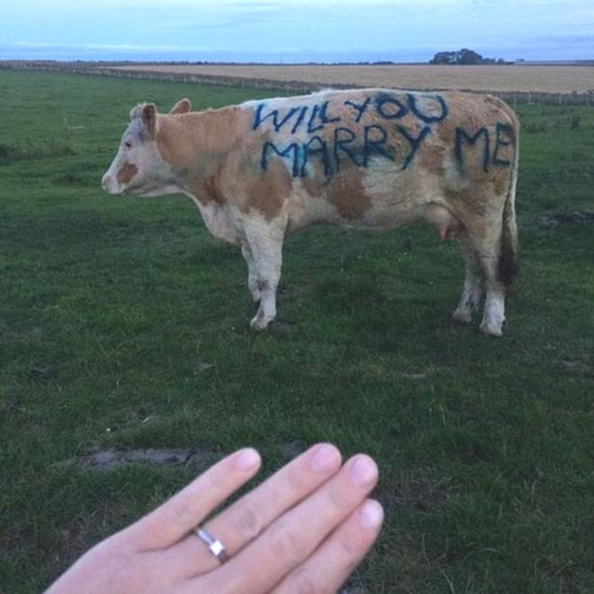 man proposes to girlfriend using the side of a cow bbc news