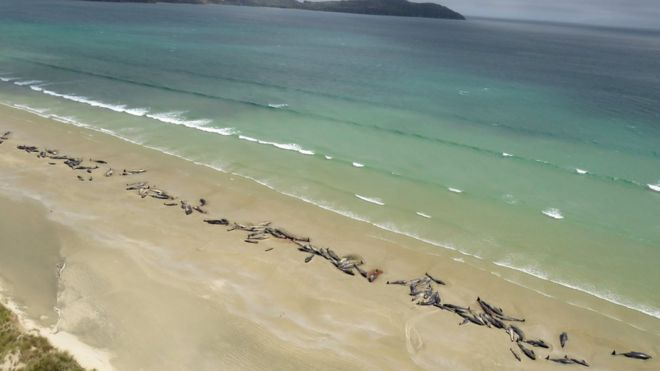 выбросившиеся дельфины