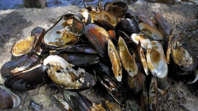 Poached pearl mussels