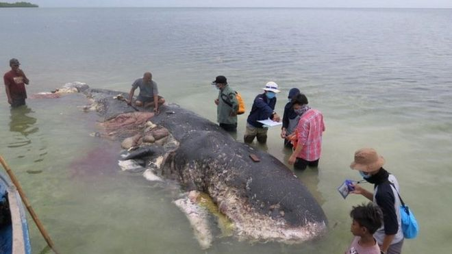 A stranded whale with plastic in its belly is seen in Wakatobi, south-east Sulawesi, Indonesia,19 November 2018 in this picture obtained from social media