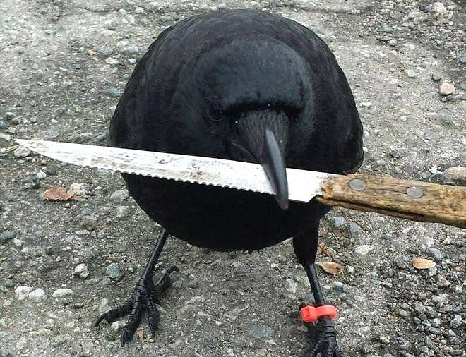 Canuck con un cuchillo en el pico
