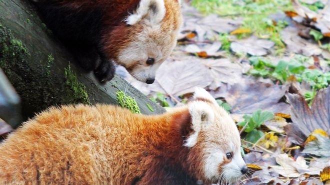 Image of: Zoo Bbc Belfast Zoo Celebrates Birth Of Endangered Red Pandas Bbc News