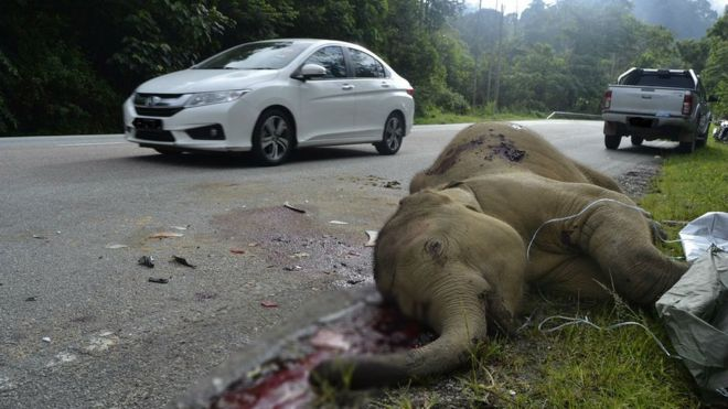 The baby elephant lies dead on a Malaysian highway