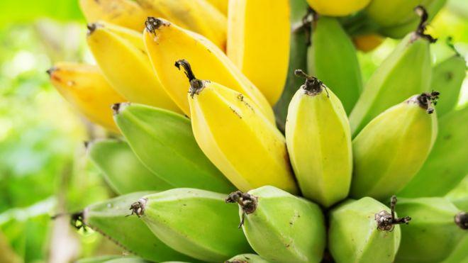 Planta de banano con frutas en diferentes etapas de maduración