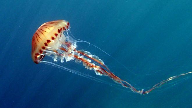 how dangerous are britain s jellyfish bbc news