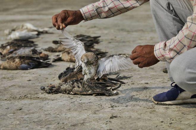 مرگ اسرار آمیز 'هزاران پرنده' در راجستان هند