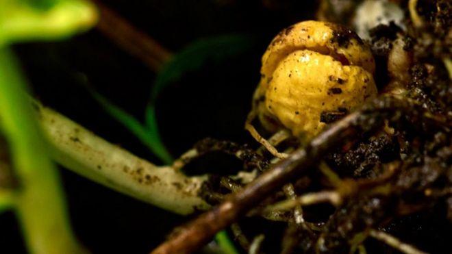 Un guisante amarillo.
