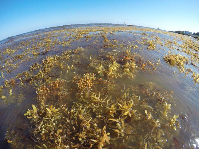 Imagem mostra as algas que invadiram o mar do Caribe