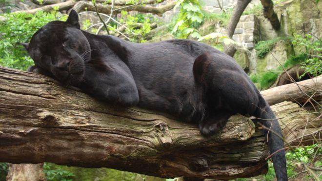 Wildlife World Zoo: Jaguar attacks selfie-taker - BBC News